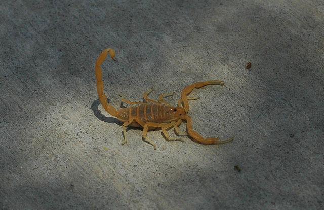 640px-Bbasgen-bark-scorpion
