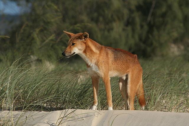 640px-Dingo_Fraser_Is