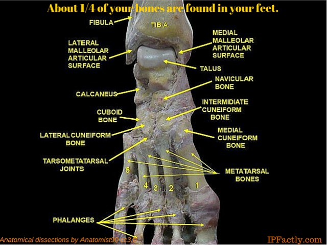 Foot Anatomical dissections