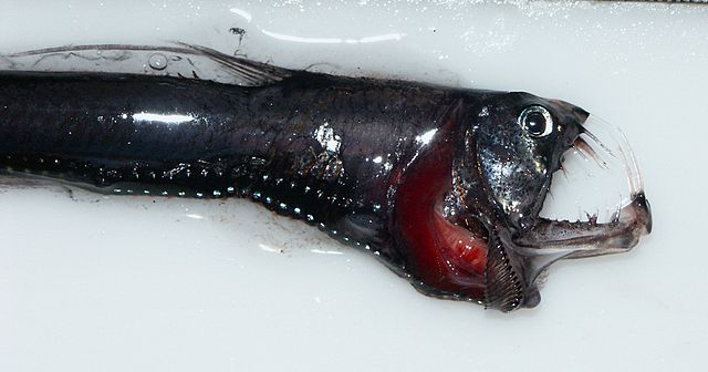 Head of a pacific Viperfish