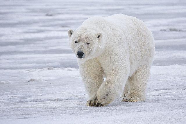 640px-Polar_Bear_-_Alaska