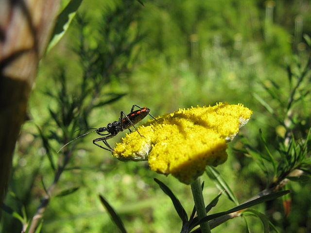 640px-Reduviidae_Rhinocoris_-_Flower_assassin_bug_1197