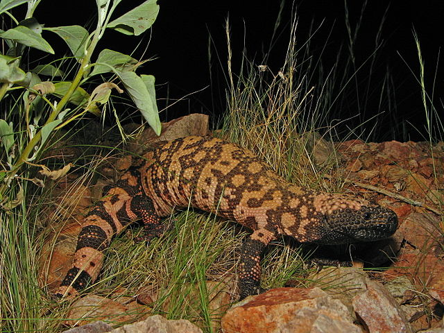 640px-Reticulate_Gila_Monster