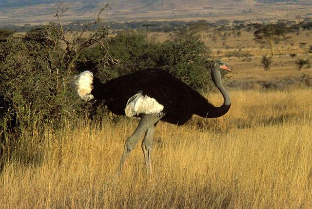 640px-Somali_ostrich