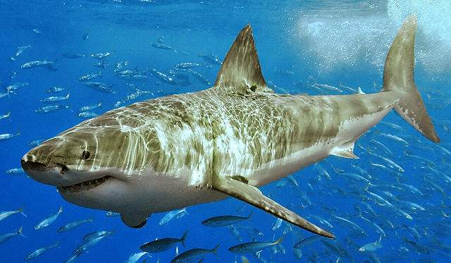 640px-White_shark_(cropped)