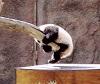 Baby Panda Holding on a Tree.