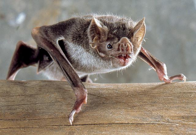 Desmo-boden-common-vampire-bat