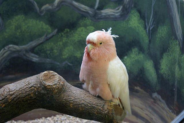 Lophocroa_leadbeateri_-Brookfield_Zoo-6
