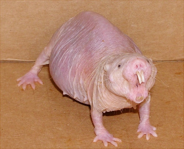 Angry female naked mole rat.Credit: Buffenstein/Barshop Institute/UTHSCSA
