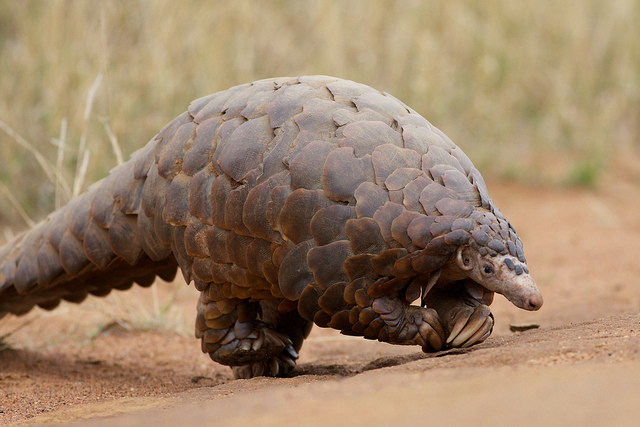 Scaly Anteater