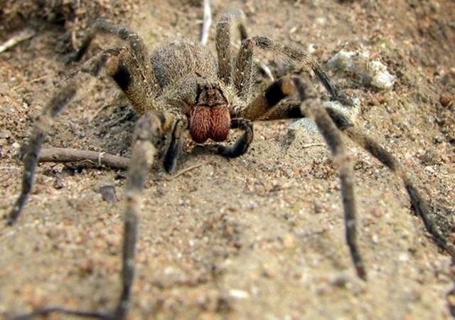 Wandering_spider