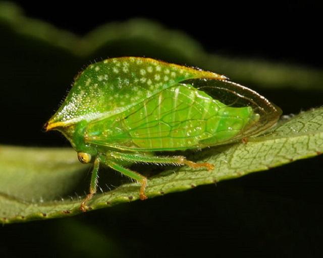 adult treehopper