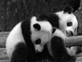 panda falling funny