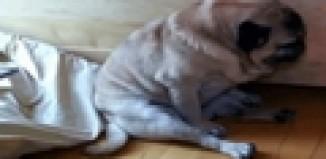 cute sleepy pug
