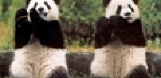 two pandas fluting