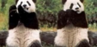 two pandas fluting