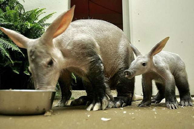 Aardvark and juvenile