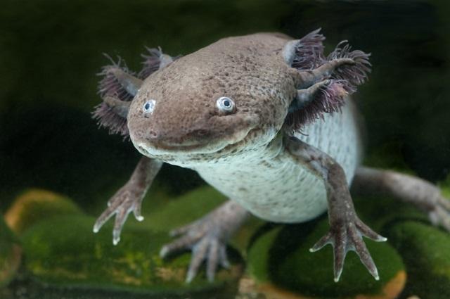 Axolotl 155305369