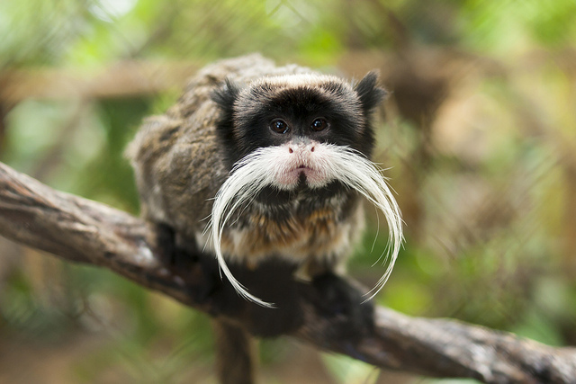 Black Chinned Emperor Tamarin