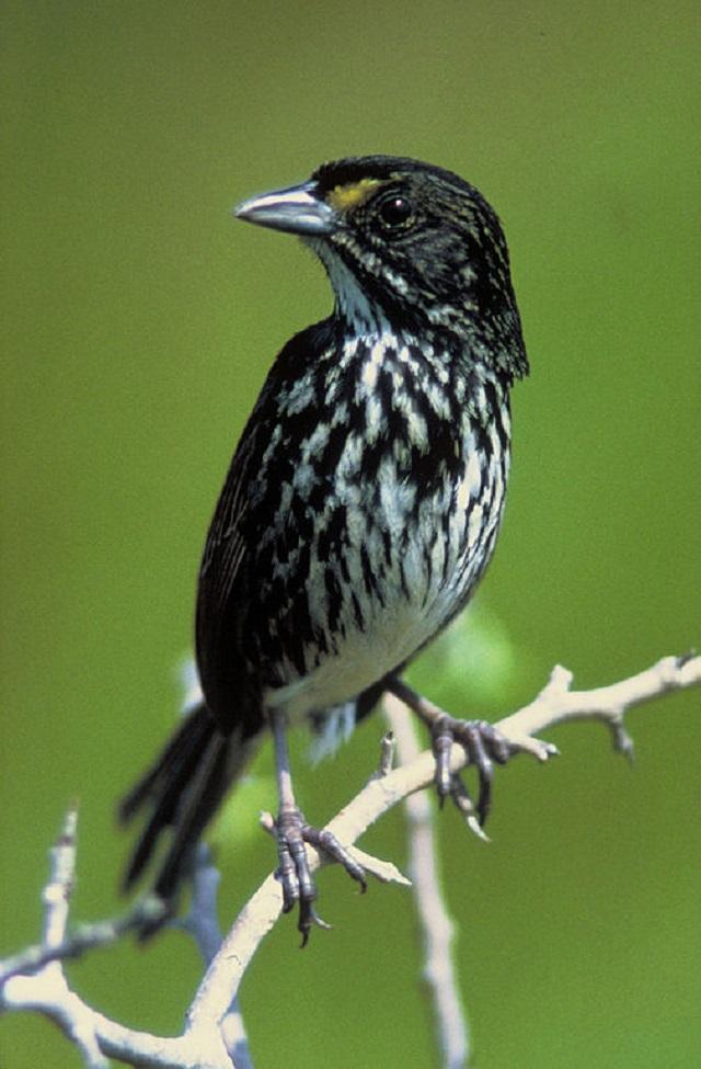 Dusky Seaside Sparrow