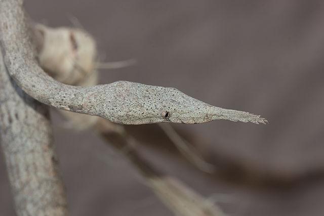 Female Langaha madagascariensis