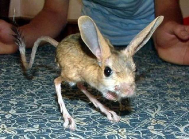 Four-toes-jerboa