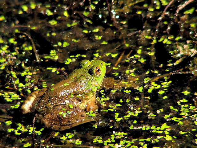 Frog at the Pond