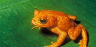 Golden Toad (Bufo periglenes)
