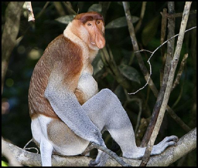 Proboscis_Monkey_in_Borneo