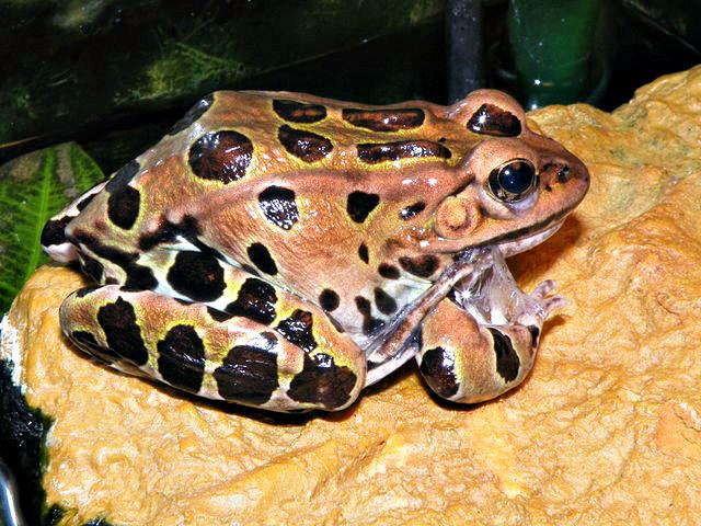 Rana pipiens (Northern leopard frog)
