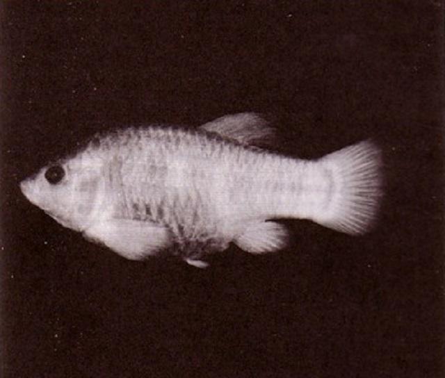 Tecopa pupfish