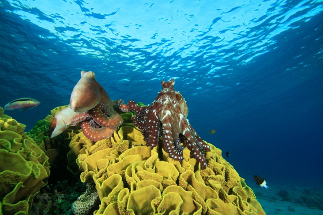pair of octopuses