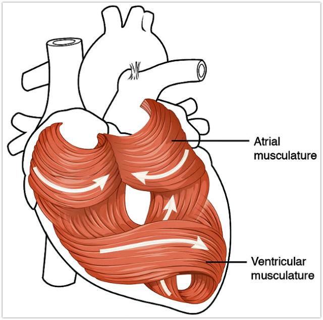 2006_Heart_Musculature