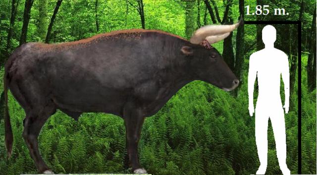 Aurochs-morphology