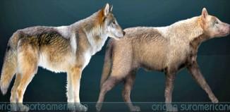 Canis dirus - dire wolf