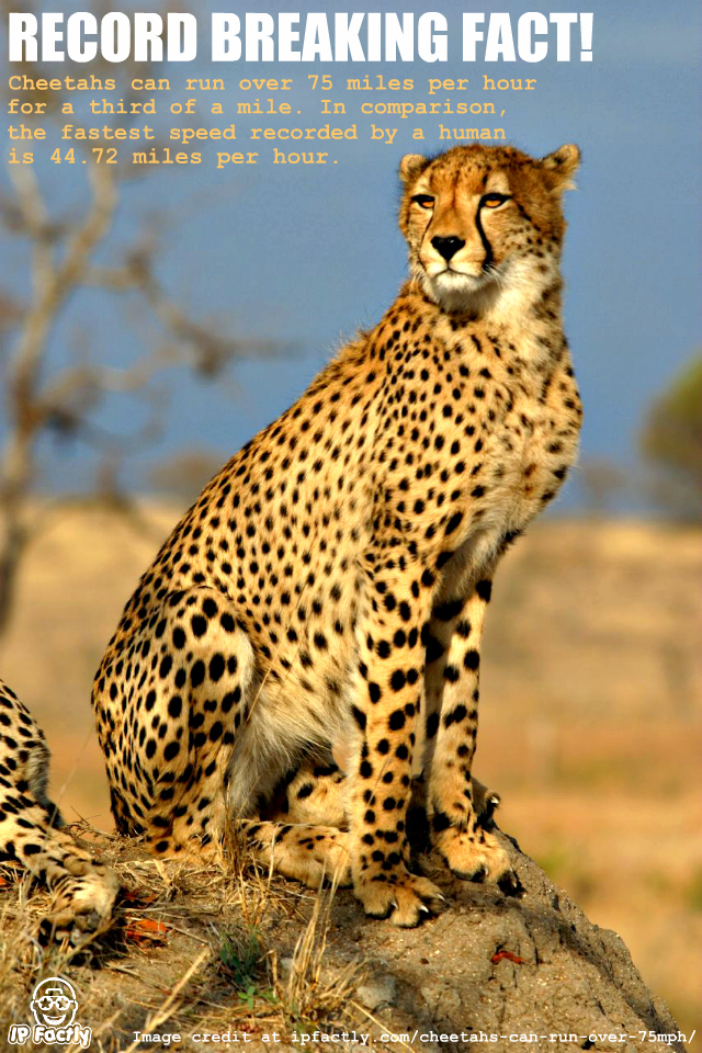 The cheetah is the fastest land animal  | Always Learning!