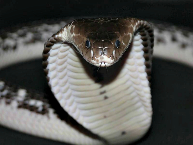 Indochinese spitting cobra