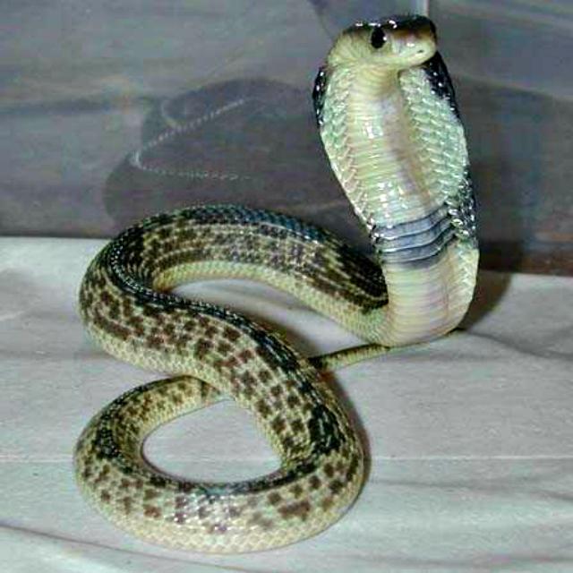 Javan spitting cobra