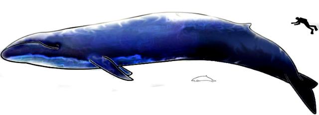 Largest Blue Whale