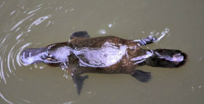 Platypus-Eungella