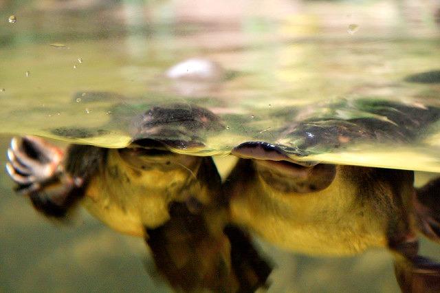 Platypus at the Sydney Aquarium