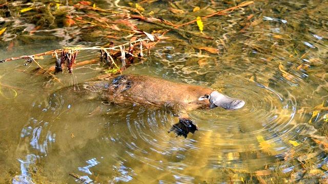 Wild Platypus