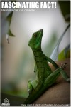 Basilisk Lizard - Female