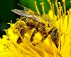 Image-Pollination_Bee_Dandelion
