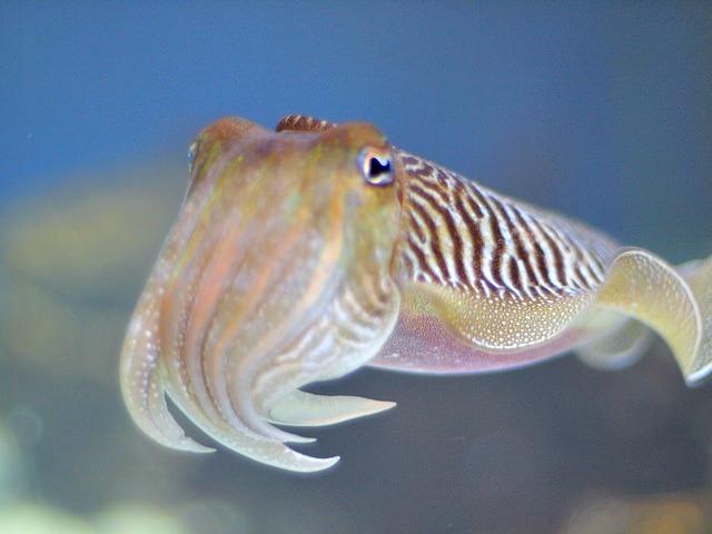 Cephalopod - Cuttlefish
