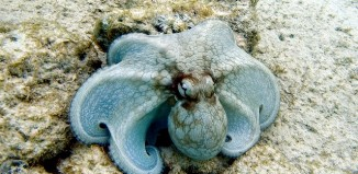 Common octopus Octopus vulgaris