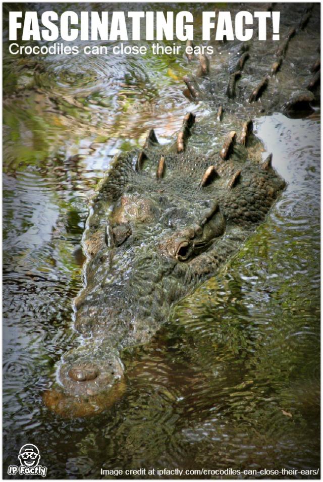 Crocodylus_acutus_mexico