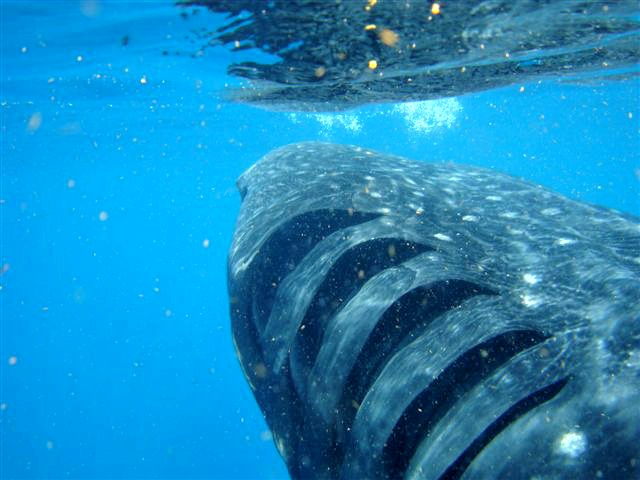 Gills of whale shark