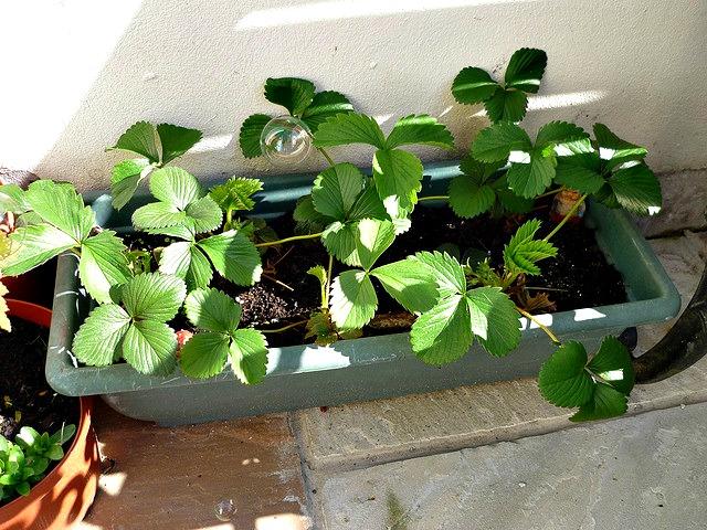 Healthy Strawberry plants