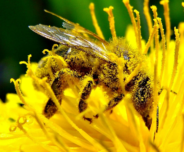 the important role of bees in the pollination of flowers trees and crops The most important insect pollinated crops in denmark are winter oilseed rape,  fruit trees and berries  at present there are not enough honeybees to  adequately pollinate all insect-pollinated plants and farmed crops, making  of  the distribution and abundance of these bees and what role other pollinators  such as spiders,.